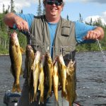 Man posing with large haul of walleye