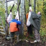 Hanging a bull moose to dry