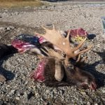 bull moose parts