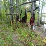 a moose hanging to dry