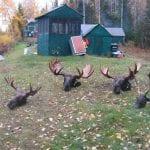 4 bull moose heads