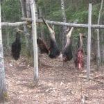 bull moose parts hung