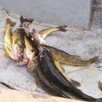 A huge haul of walleye fish