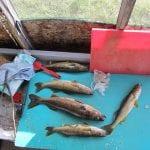 A huge haul of walleye